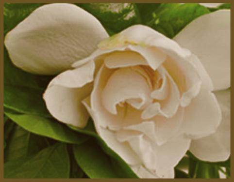 Gardenia Exotique