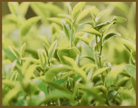 Feuilles de Thè Vert